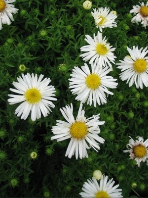 Aster novi-belgii 'White Ladies' (Herfstaster)