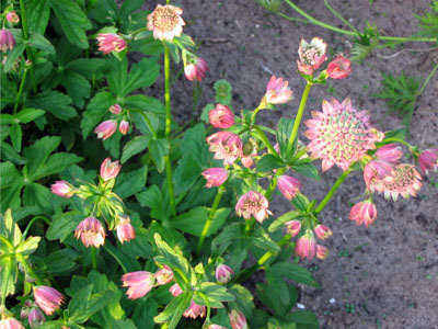 Astrantia major 'Rosea' (Zeeuws knoopje)
