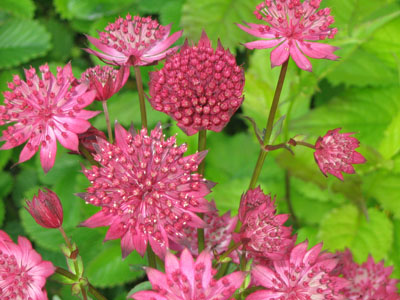 Astrantia major 'Ruby Wedding' (Zeeuws knoopje)