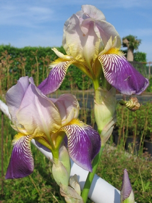 Iris germanica (Baardiris, Lis)