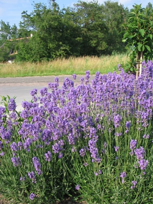 lavandula angustifolia 39 dwarf blue 39 assortiment. Black Bedroom Furniture Sets. Home Design Ideas